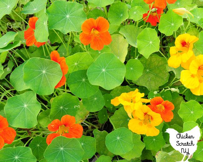 orange-red and yellow nasturtium flowers