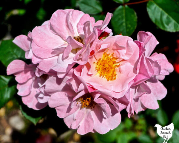 cluster of pink rugosa roses