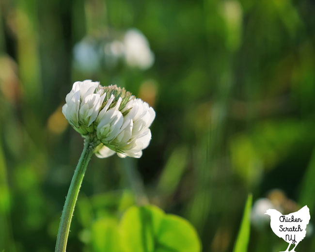 close up of white clover flower