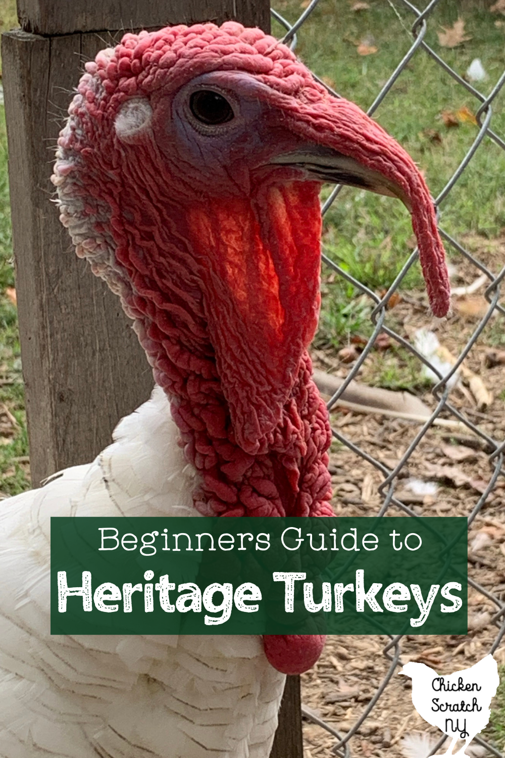 close up of royal palm turkey face with text overlay Beginners Guide to Heritage Turkeys