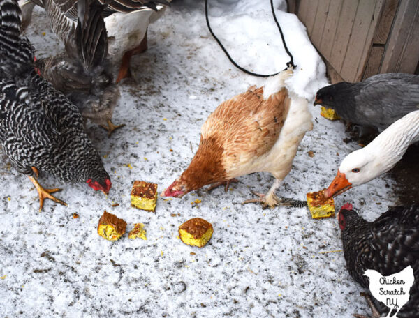 chickens and geese eating homemade flock block style treat made from eggs, bird seed, dog food and green beans