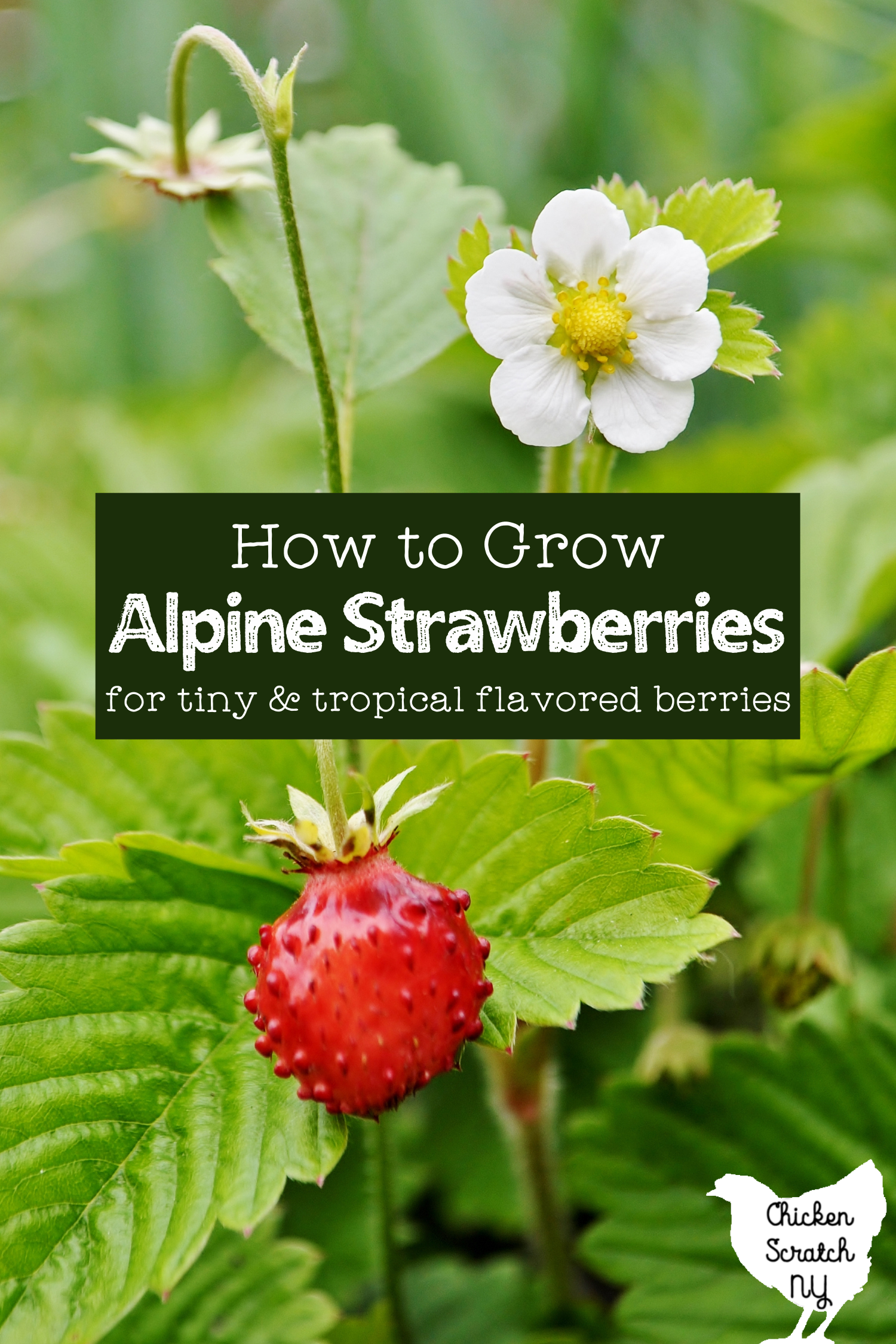 "small red alpine strawberry on a stalk with a white strawberry flower in front of green leaves with text overlay ""how to grow alpine strawberries"""