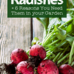 dirt clinging to the lower roots of a pile of radishes on a wooden table with text overlay how to grow radishes and 5 reasons you need to grow them in your garden