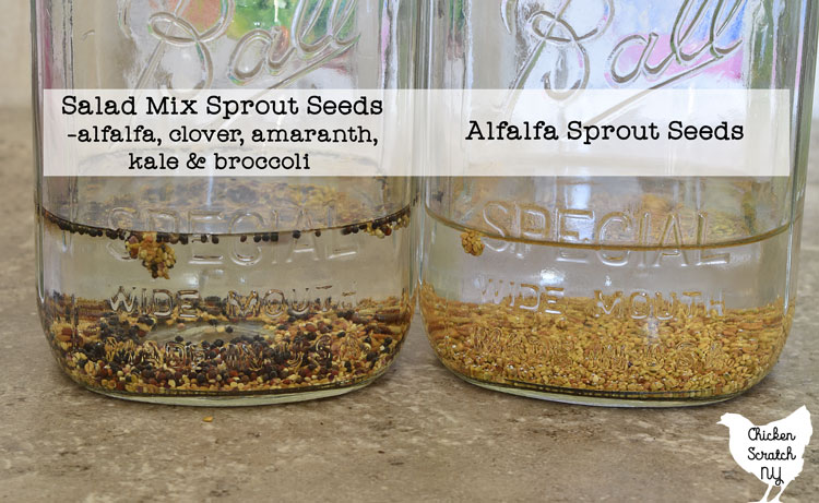 two quart sized mason jars with 1.5 inches of water and a tablespoon of sprouting seeds