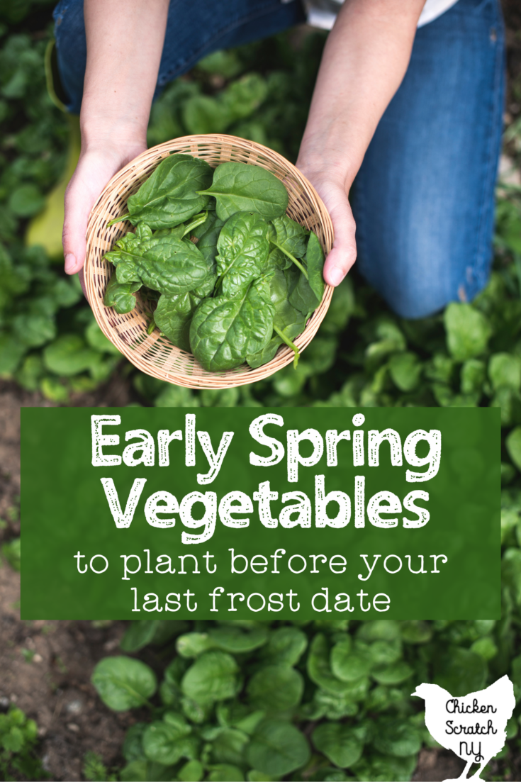 """hands holding a bowl of fresh spinich leaves in the garden with text overlay """" early spring vegetables to plant before your last frost date"""""""