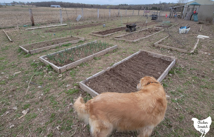 wide shot of early spring garden showing mostly empty beds with a golden retriever standing in the foreground and a swing set with playing kids in the background