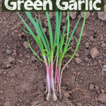 """clump of green garlic with roots and green sitting on garden soil with text overlay """"how to grow, harvest, store & eat Green Garlic"""""""