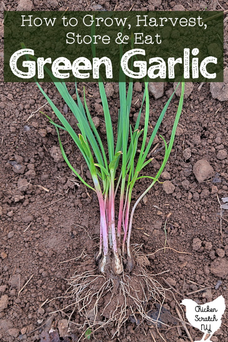 """clump of spring green garlic with long roots and dark clove coating remnants laying on garden soil with text overlay """"how to grow, harvest, store & eat green garlic"""""""