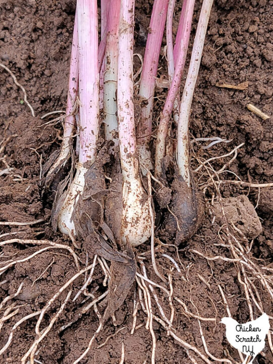 close up shot of spring green garlic with long roots and dark clove coating remnants