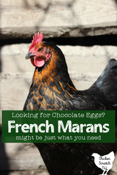 """close up picture of black copper maran hen with text overlay """" looking for chocolate eggs? French Marans might be what you're looking for"""""""