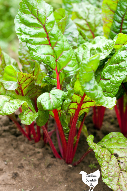 red Swiss chard plants growing in a row