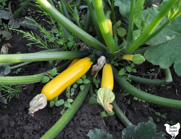 close up view of yellow summer squash plant with young squash growing from the center